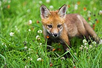 Red Fox Vulpes vulpes, cub on grass with Orange Hawkweed Pilosella aurantiaca