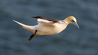 Northern Gannet (Sula bassana) flying, North Sea, Heligoland, Schleswig-Holstein, Germany, Europe