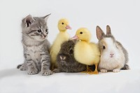 Kitten, rabbits and duckling, studio shot