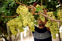 Italy, Sicily, Canicattì, vineyards, grape harvesting...