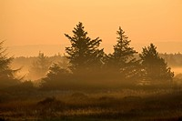 Red Spruces (Picea rubens) in morning light, Denmark, Europe