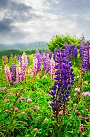 Purple and pink garden lupin wild flowers in Newfoundland