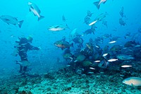 Scuba diver feeding Snappers, Lutjanus sp , Beqa Lagoon, Viti Levu, Fiji