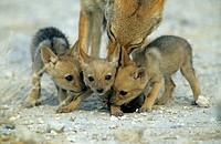 Black-backed jackal (Canis mesomelas) cubs, Etosha, Namibia, Africa