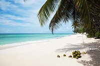Beach near St Laurence, palm tree with fresh coconuts, Barbados, West Indies