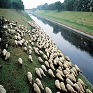 Seventies, flock of sheep, sheep graze on a pasture at the Emscher, D-Oberhausen, Ruhr area, North Rhine-Westphalia, NRW