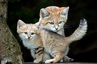SAND CAT felis margarita, MOTHER WITH CUB