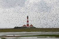 Flock of birds before migrating to the south in front of Westerheversand Lighthouse, Schleswig-Holstein, Germany, Europe