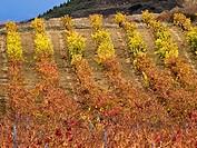 Viñedos en otoño en Elciego - Rioja Alavesa - Euskadi - España