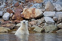 Polar Bear, Ursus maritimus, swimming in water at rocky coast, Spitsbergen, Svalbard
