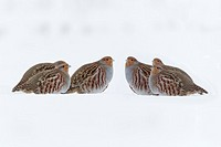 Grey Partridge Perdix perdix, covey on snow covered field in winter