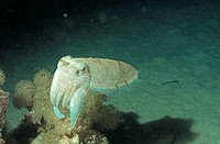 Common Cuttlefish (Sepia officinalis), Red Sea, Egypt, Africa