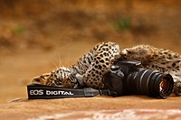 Wild Leopard Panthera pardus cub playing with a Canon camera in Ranthambore Tiger Reserve, India