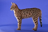 Young Savannah cat standing