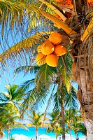 coconut palm trees in Caribbean tropical beach
