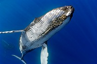 humpback whales, Megaptera novaeangliae, displaying courtship behavior - male aggressively pursuits female while blowing bubbles vigorously, female wi...