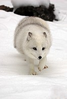 Arctic Fox,Alopex lagopus,Montana,North America,USA,adult searching for food in snow