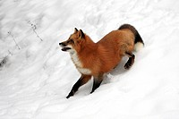 Red Fox,Vulpes vulpes,Montana,USA,North America,adult searching for food in snow
