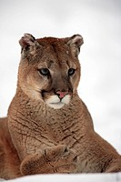 Mountain Lion,Felis concolor,Montana,North America,USA,adult in winter resting in snow