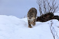 Snow Leopard,Uncia uncia,Asia,adult in snow