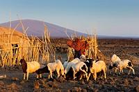 Abdella Ali, Africa, Ethiopia, Afar region, Afgar, Danakil, desert, village, hut, dwelling, Afar girls, nanny goat, herd,