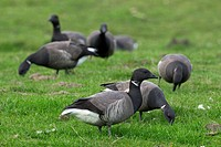 Brent Geese Branta bernicla foraging in grassland, Wadden Sea National Park, Germany