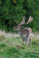 Fallow deer Dama dama / Cervus dama buck exhibiting flehmen behavior during the rutting season in autumn, Denmark