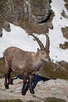 male Alpine Ibex Capra ibex standing on rock in alpine landscape, Niederhorn, Bernese Oberland, Switzerland