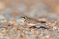 Shore Lark Eremophila alpestris adult, winter plumage, standing on shingle beach, Suffolk, England, november