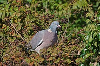 Wood Pigeon Columbus palumbus adult, feeding on Bramble Rubus fruticosus fruit, Arundel, West Sussex, England, october