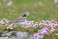 Ringed Plover Charadrius hiaticula adult, standing on rock amongst thrift, Shetland Islands, Scotland, june