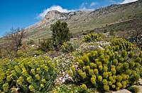 Springtime, a riot of Euphorbia and other wild flowers, above Agios Nikon in the Outer Mani, Southern Peloponnese, Greece