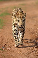 Leopard,Panthera pardus,Sabi Sabi Game Reserve,Kruger Nationalpark,South Africa,Africa,adult