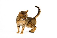 BROWN SPOTTED TABBY BENGAL DOMESTIC CAT, ADULT AGAINST WHITE BACKGROUND