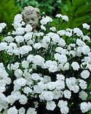 Dianthus Balkon white