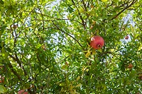 Fruit of a pomegranate tree on the Torcello canal banks