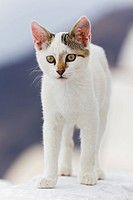 Europe, Greece, Cyclades, Santorini, Cat standing on wall