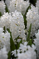 Hyacinthus Carnegie