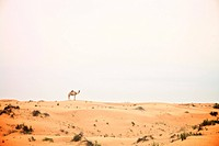 United Arab Emirates, Dubai, Camel in desert