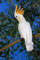 CITRON-CRESTED COCKATOO cacatua sulphurea citrinocristata, ADULT STANDING ON BRANCH