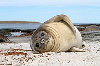 Falkland Islands , Sea LIon island , Southern Elephant Seal Mirounga leonina , baby.