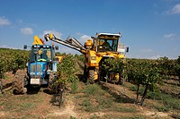 Combine-harvester collecting grape in Raimat  LLeida  Spain
