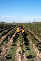 Combine-harvester collecting grape in Castell del Remei  LLeida  Spain
