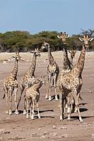 Africa, Namibia, Giraffe in etosha national park