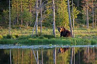 Brown Bear Ursus arctos sitting at lakeshore, Finland