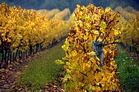 France-Midi Pyrenées-Gers-´Domaine de Joÿ´ wines and Armagnac Estate, at Panjas Autumn.