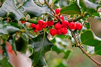 This macro stock photo is a raindrop dripping of some red holly berries with the classic green holly leaves and branches nearby, on a fresh Christmas ...