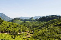 Tea plantation, Munnar, Idukki, Kerala, India