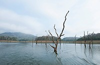 Dead trees in a lake, Thekkady Lake, Thekkady, Periyar National Park, Kerala, India