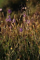 Scotland, Moray, Cabrach. Sheep´s_bit scabious, a native wildflower of Britain.